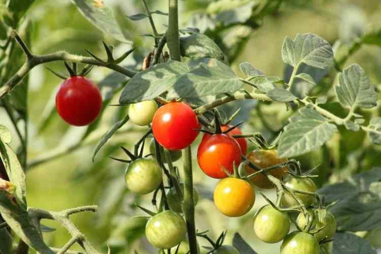 cherry tomato plant growing