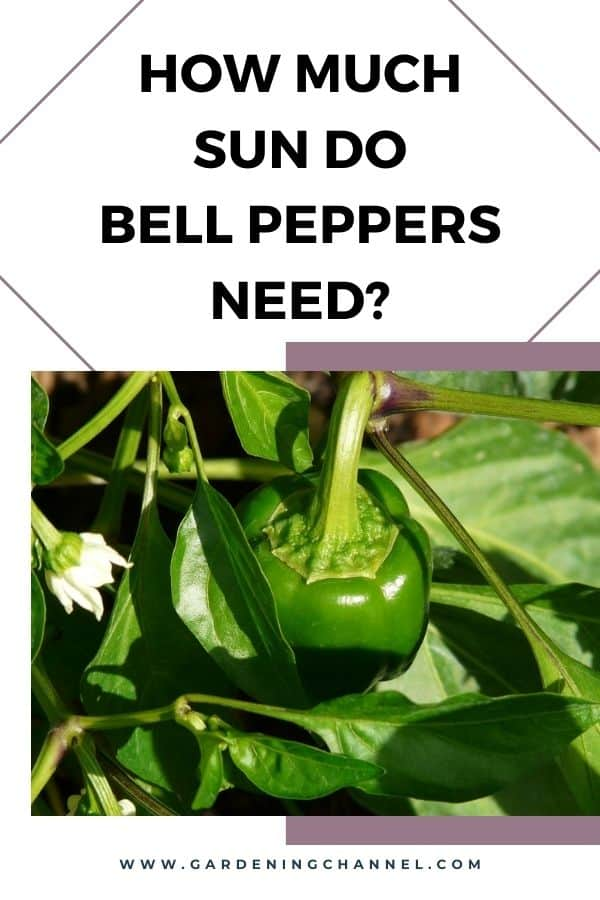 bell pepper plant in sun with text overlay how much sun do bell peppers need