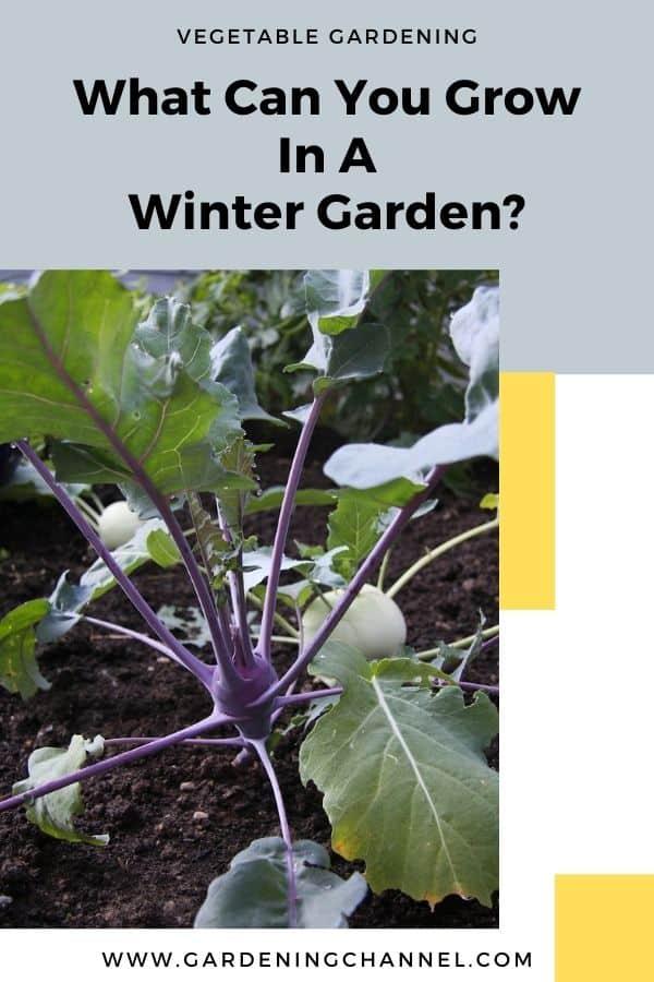 kohlrabi in garden with text overlay vegetable gardening what can you grow in a winter garden
