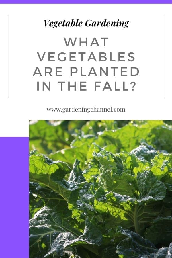 collard greens with text overlay vegetable gardening what vegetables are planting in the fall