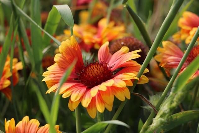 growing blanket flower