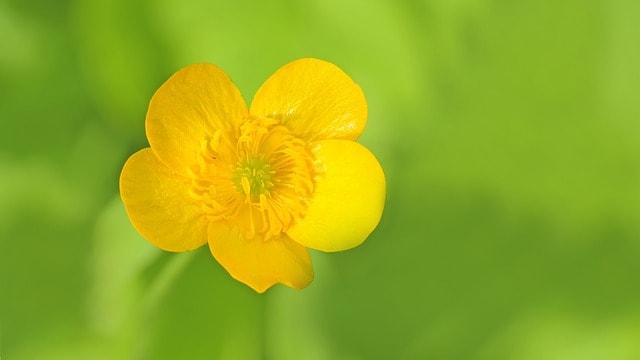 buttercup perennial