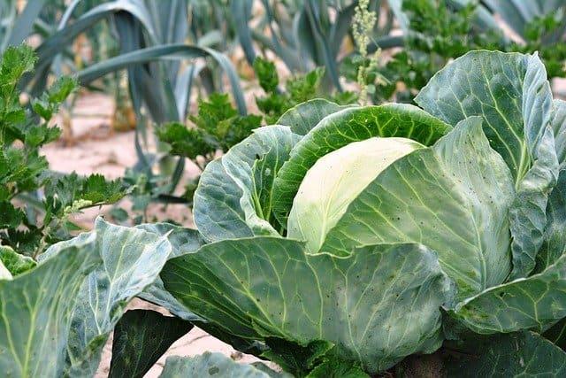cabbage in vegetable garden