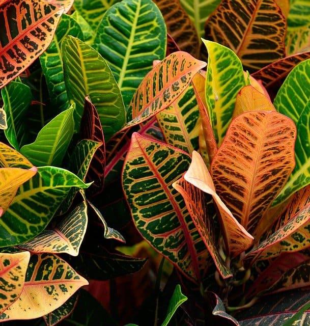 large indoor croton plant