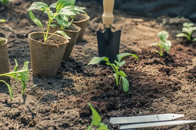 planting pepper plants to start a garden
