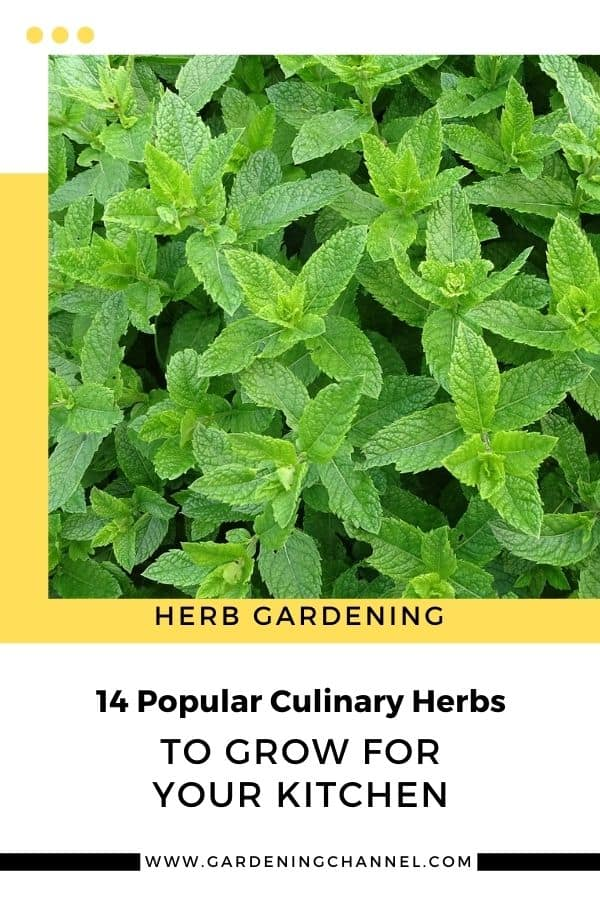 mint with text overlay herb gardening 14 Popular Culinary Herbs to Grow for Your Kitchen