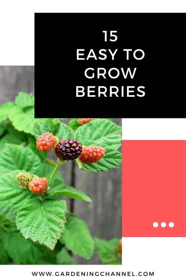 boysenberries with text overlay 15 Easy to Grow Berries