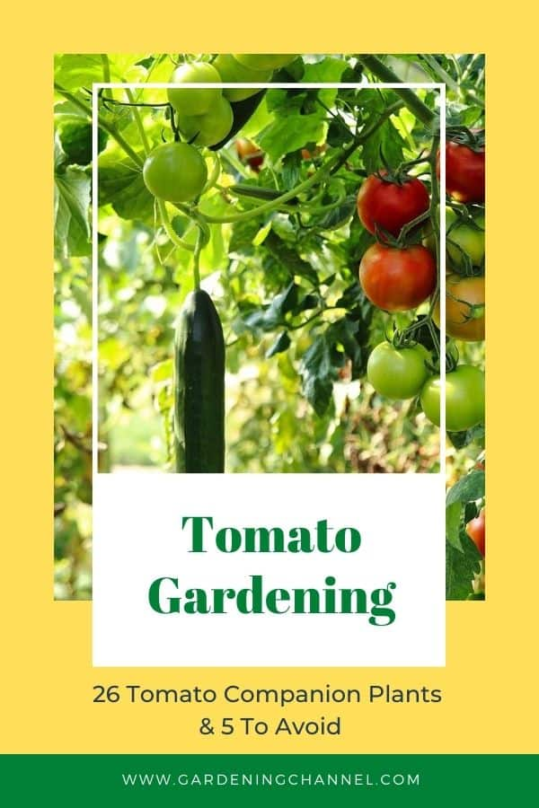tomato and cucumber plants with text overlay twenty-six Tomato Companion Plants and five to avoid