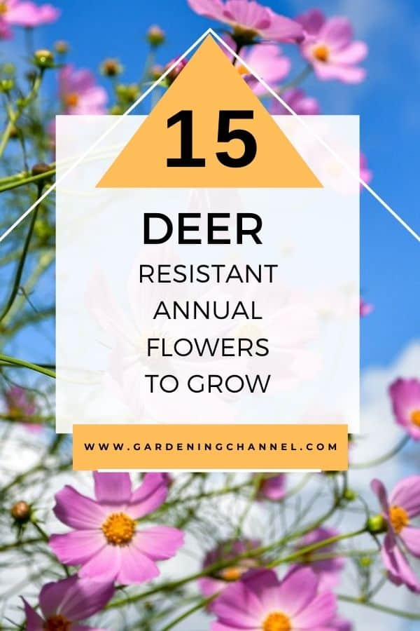 cosmos with text overlay fifteen Deer Resistant Annual Flowers to Grow