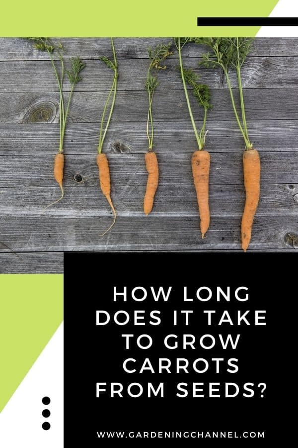 carrots in growing stages with text overlay How Long Does It Take to Grow Carrots From Seeds?