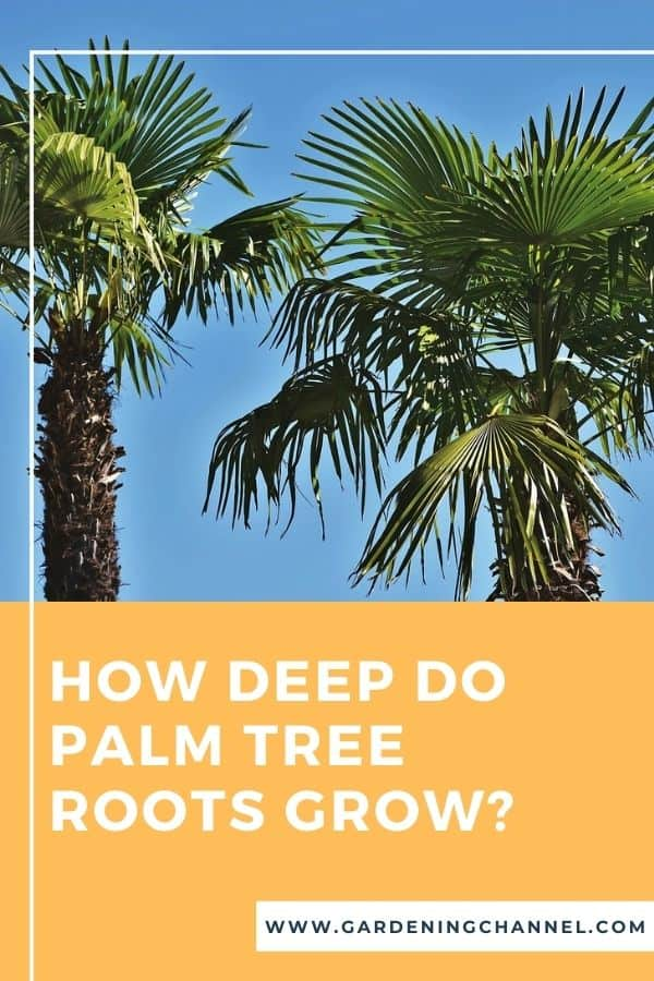 palm trees with text overlay How deep do palm tree roots grow?