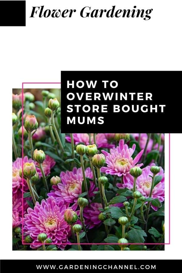 mums with text overlay flower gardening How to Overwinter Store Bought Mums