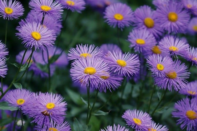 growing fall shade asters