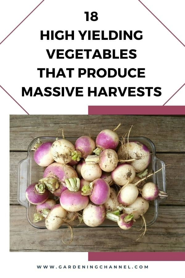 harvested turnips with text overlay 18 High Yielding Vegetables That Produce Massive Harvests