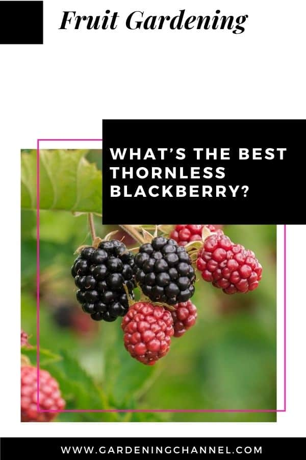 blackberries on bush with text overlay what's the bed thornless blackberry?