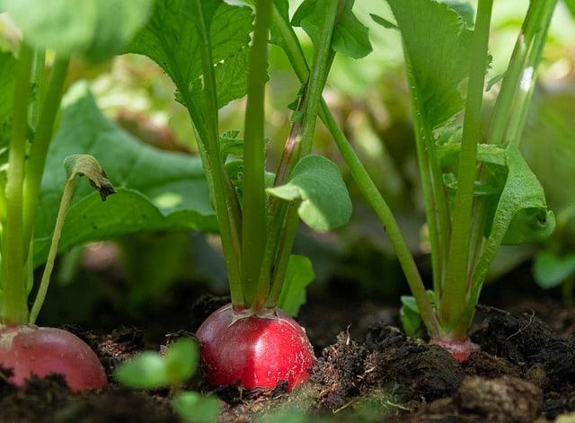 beets in garden