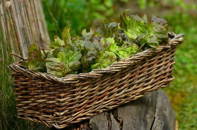 harvested leaf greens