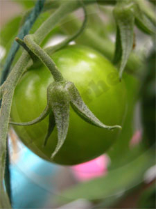 Green tomato starting to swell and ripen