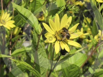 Helianthus in late September