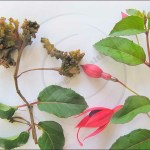 Beware of sharing fuchsia plants