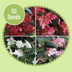 Begonia Candy Rouge (Trailing) 50 Seeds