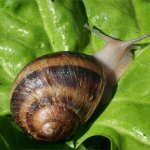 Grow your own edible snails