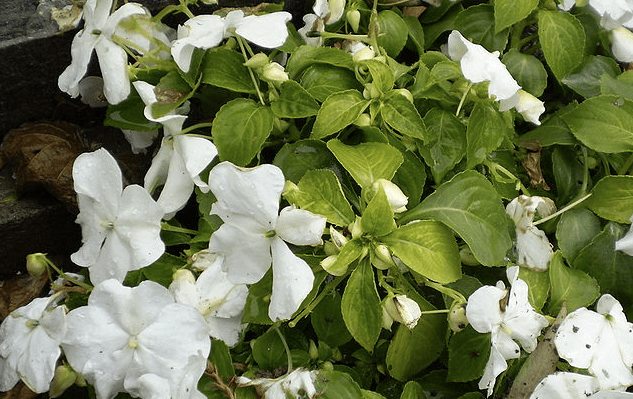Impatiens Walleriana - The Busy Lizzie affected by Downy Mildew
