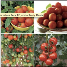 Popular tomato collection from Jersey Plants Direct