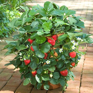 All About Gardening And Nature Growing Strawberry Plant How To Grow Strawberry Plants