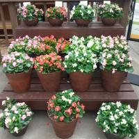 Hybrid or Interspecific Begonia