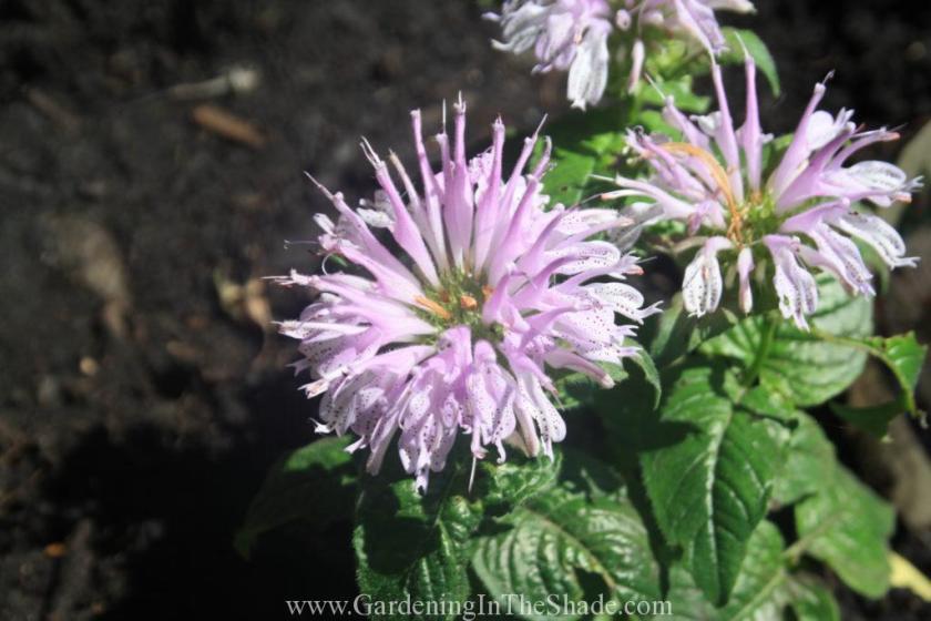 Monarda 'Leading Lady Lilac', it's the cutest little Bee Balm.