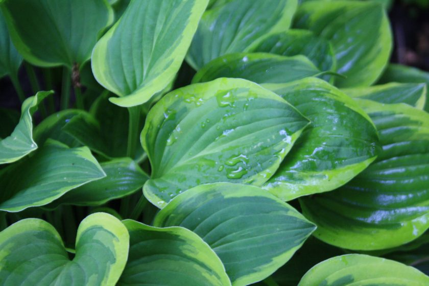 Hosta 'Golden Tiara' leaves