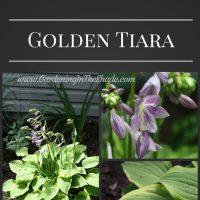 Hosta Golden Tiara