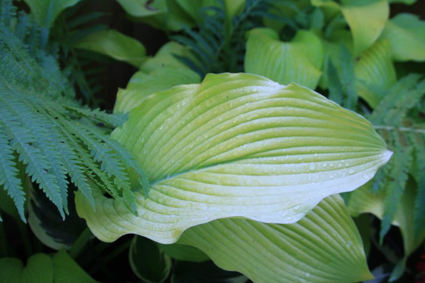 Hosta 'Sun Power' Leaf
