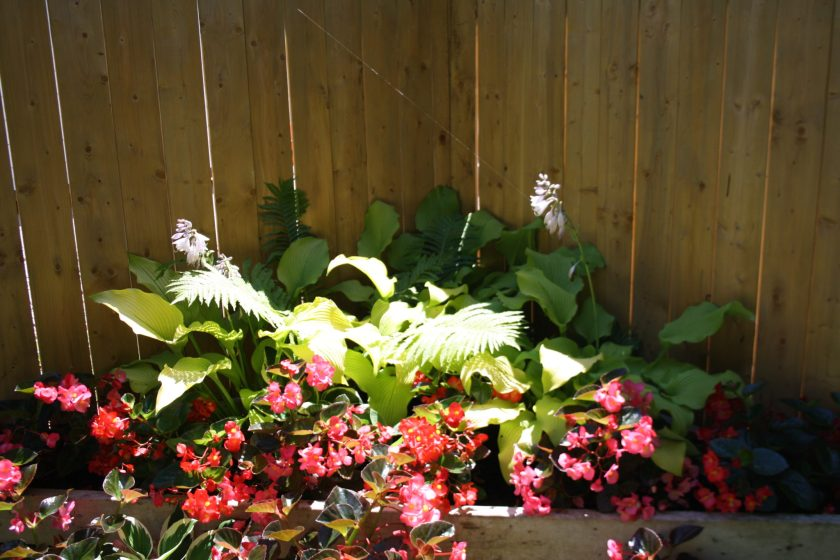 Hosta Sun Power with Begonia and Ferns