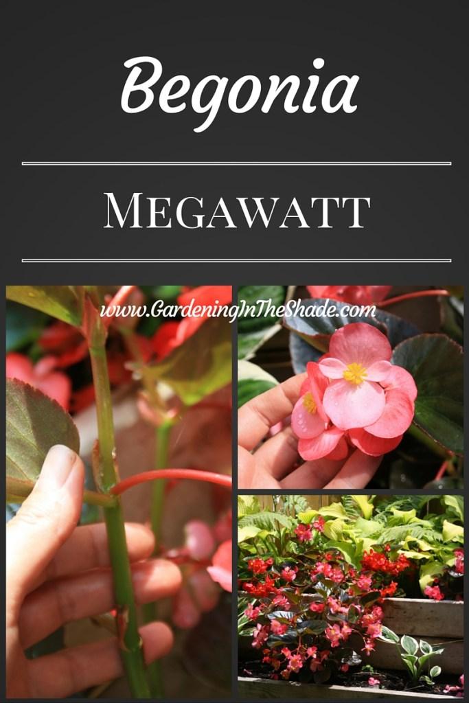 Megawatt Begonia, Biggest of the really big begonias