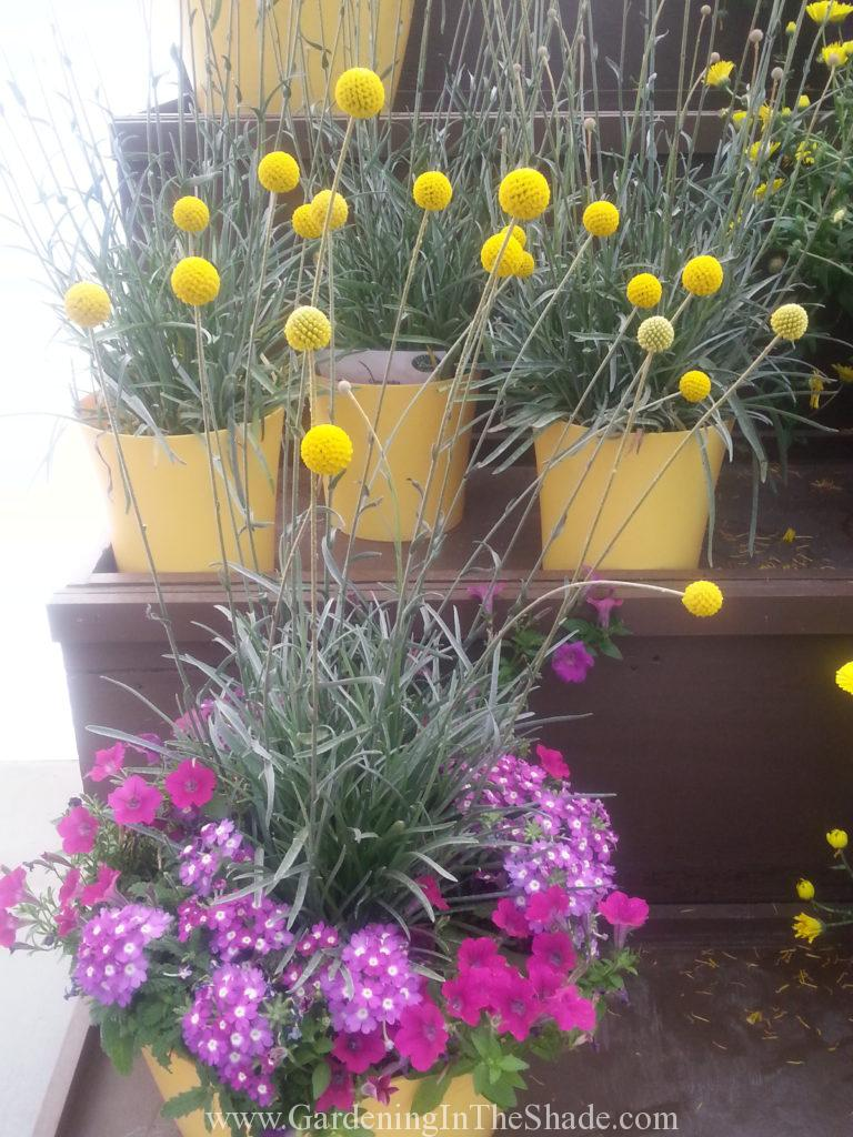 Craspedia Golf Beauty Gardening In The Shade