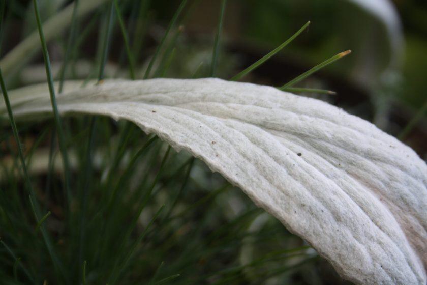Bello Grigio Leaf