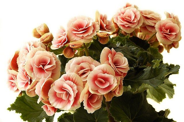 Growing Begonia Houseplants Information On Begonias As Houseplants
