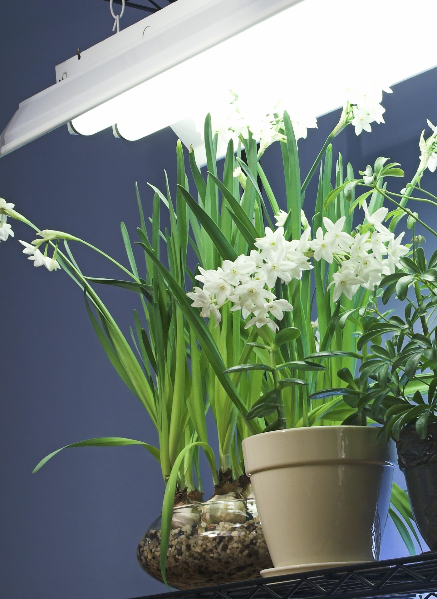 Light Requirements Indoors Fluorescent Lighting For Indoor Gardening