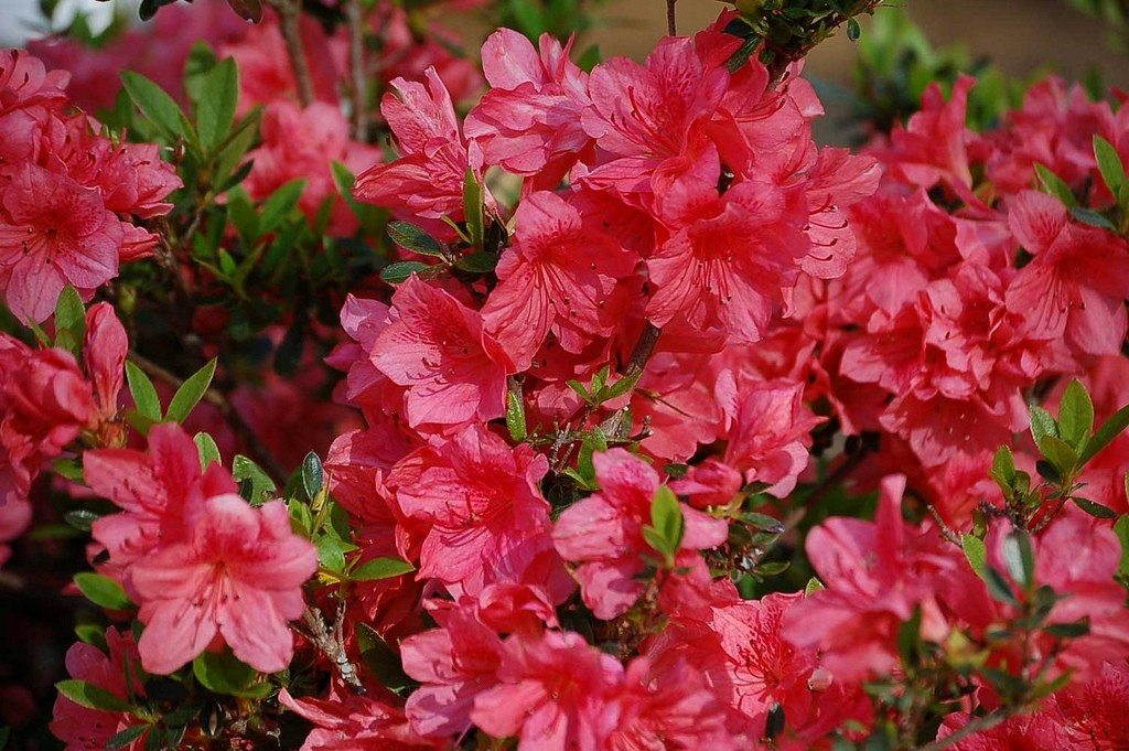 Learn How To Grow And Care For Azaleas