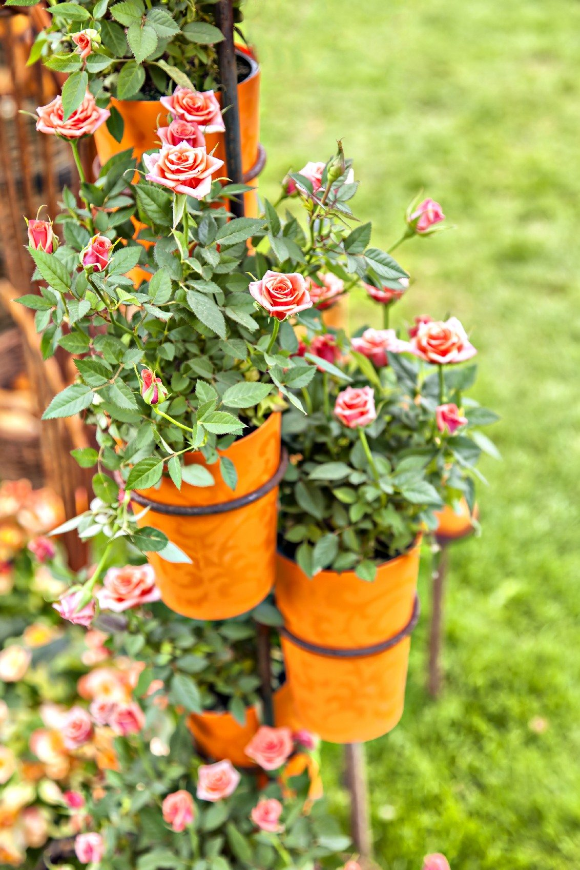 Growing Miniature Roses In Containers Caring For Container