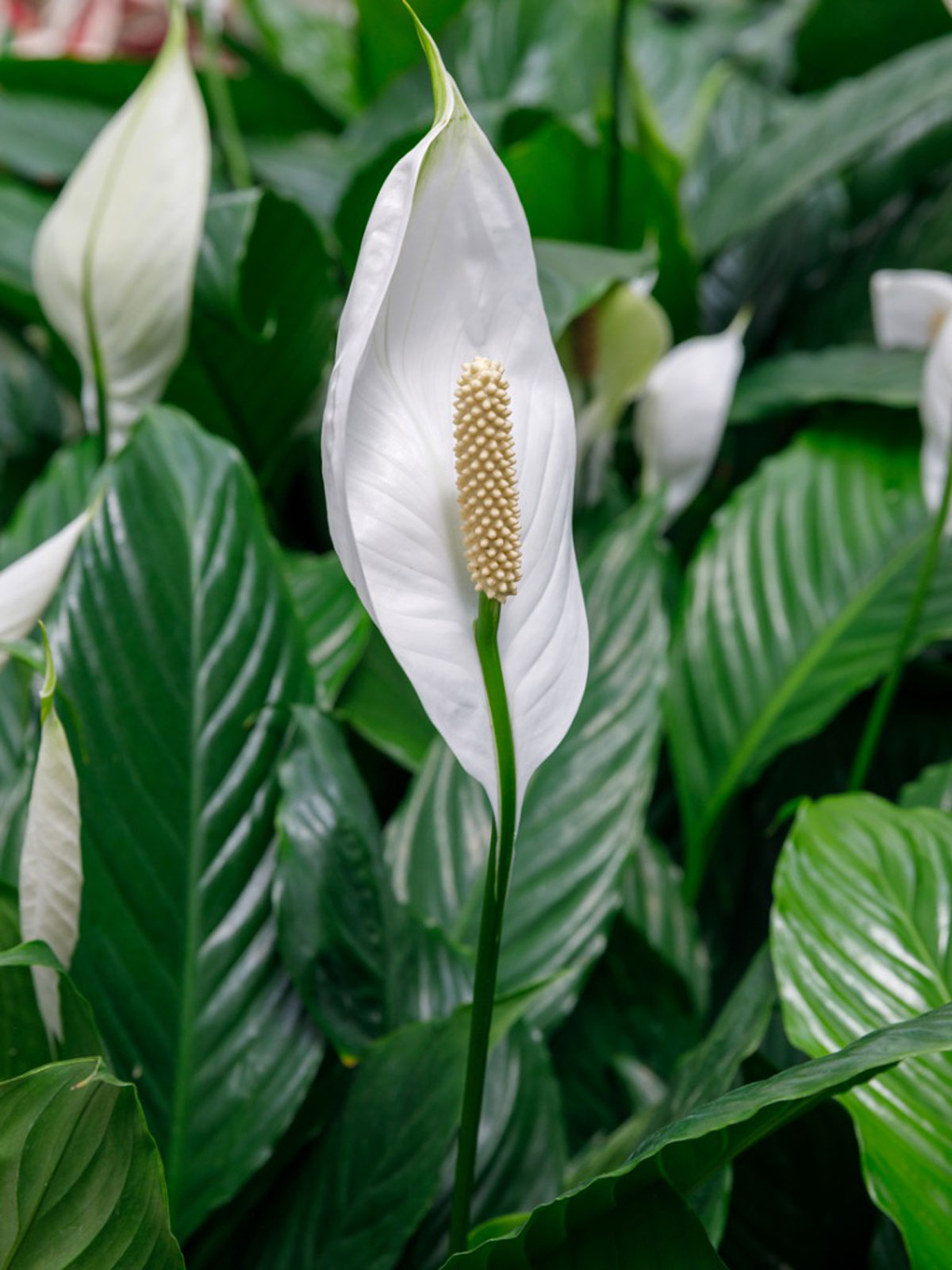 Indoor Peace Lily Plants Growing A Peace Lily Plant