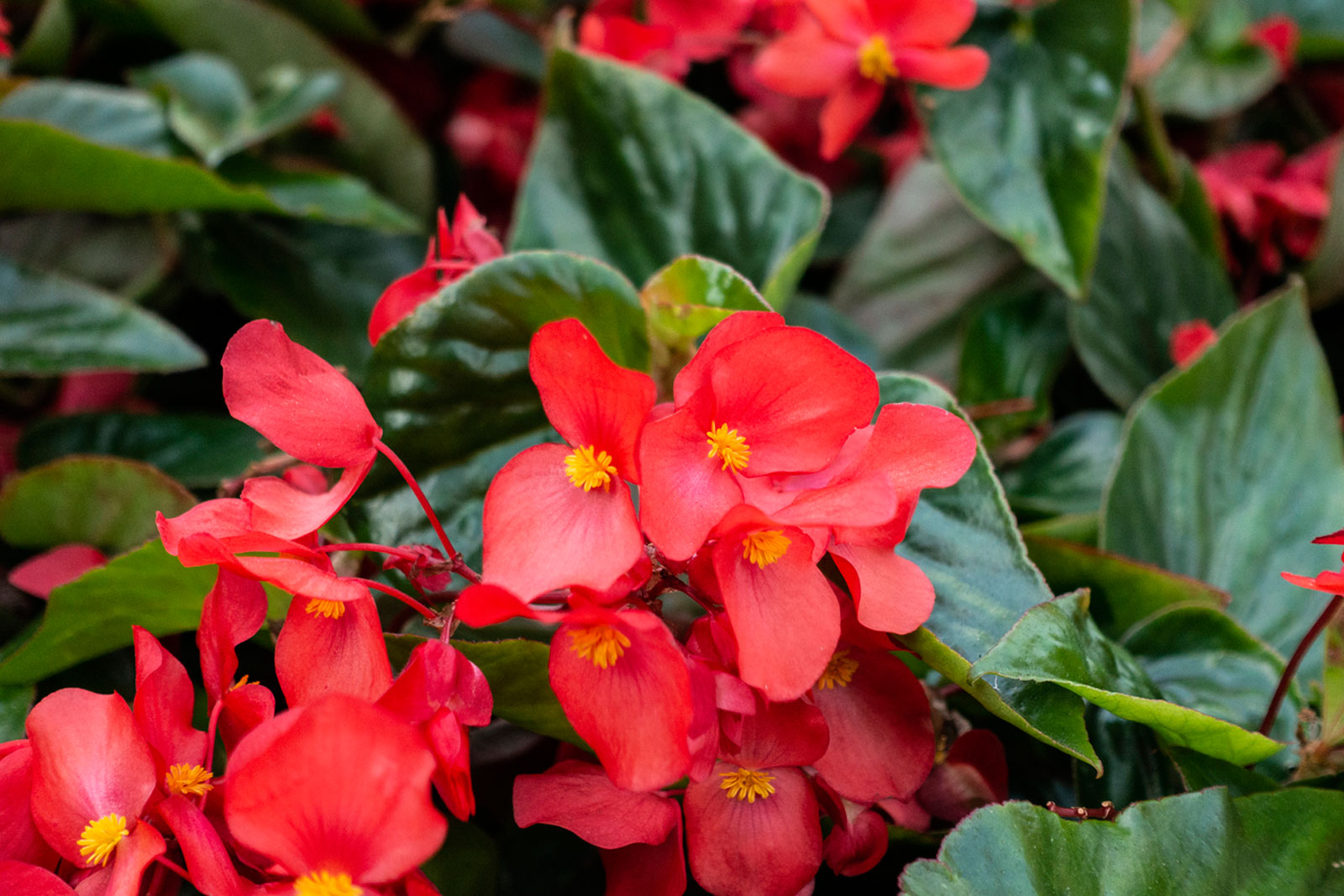 Growing Annual Begonia Plants Information On How To Grow Begonias