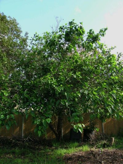 What Is A Fruitless Mulberry Tree Growing Tips And Fruitless