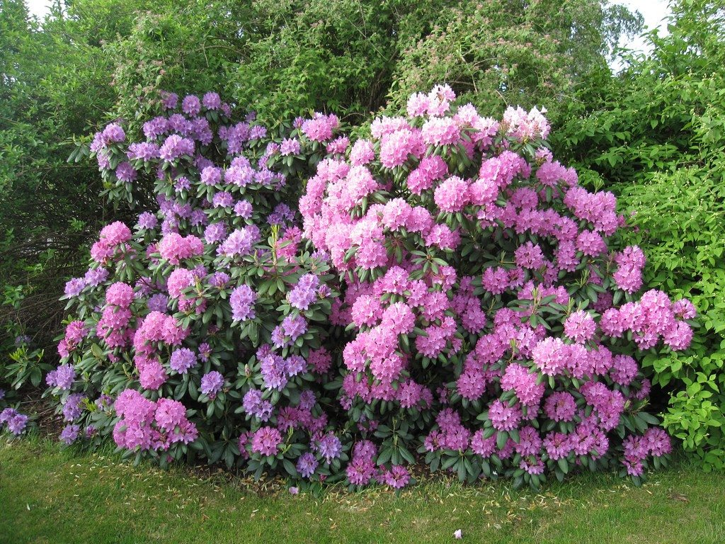 Common Problems Of Rhododendron Learn About Rhododendron Pests