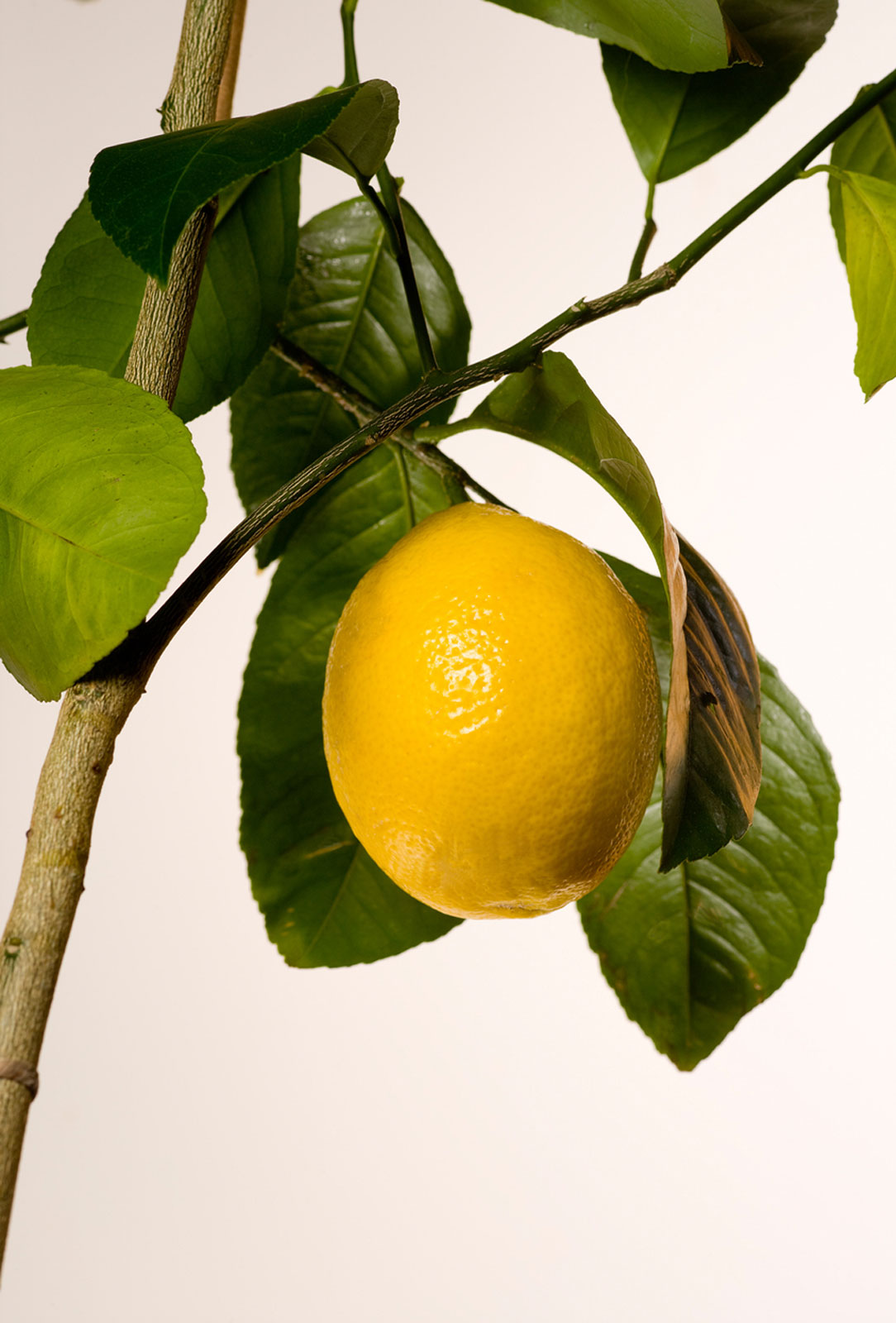 Meyer Lemon Growing Tips On Caring For A Meyer Lemon Tree