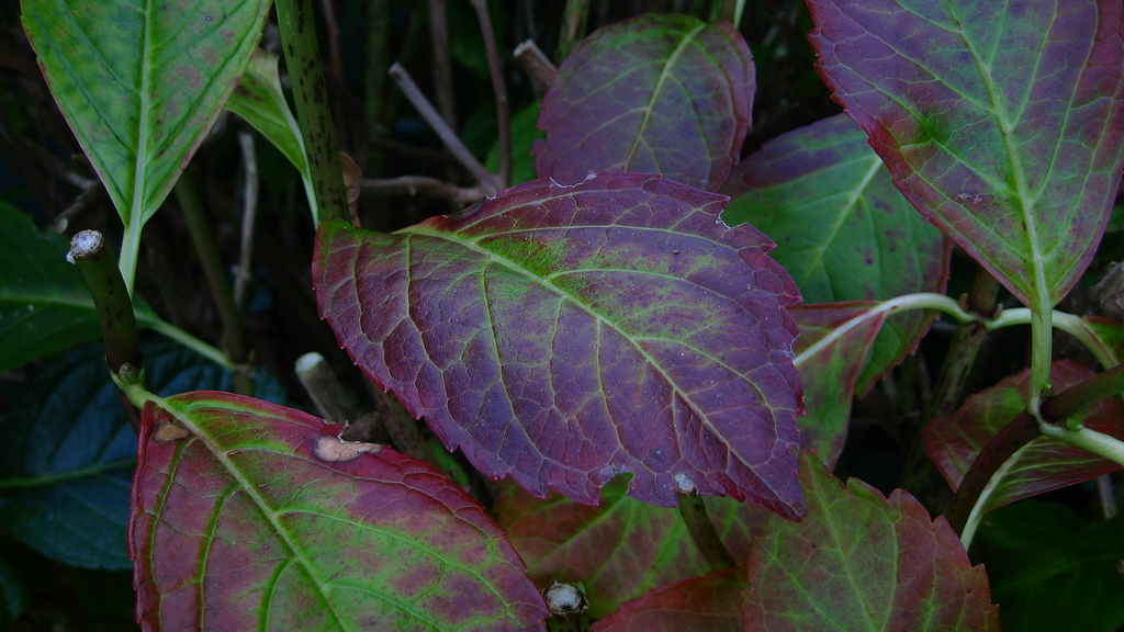 Purple Leaf Color On Hydrangeas What To Do For A Hydrangea With