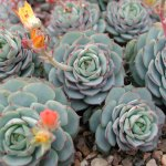 How To Grow Echeveria Plants Tips For Growing Echeveria