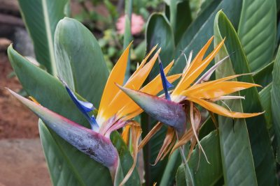 Growing Bird Of Paradise Outside How To Take Care Of Birds Of